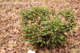 Abies pinsapo 'Aurea' Golden Spanish Fir