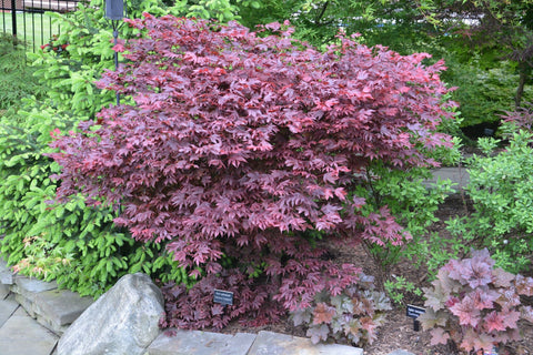 Acer palmatum 'Adrian's Compact' Dwarf Red Japanese Maple Tree