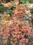 Acer palmatum 'Oregon Sunset' Japanese Maple