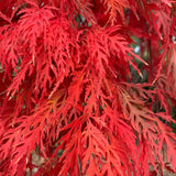 Acer palmatum 'Orangeola' Japanese Maple