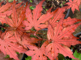 Acer palmatum 'Black Hole' Japanese Maple