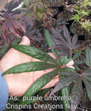 Acer shirasawanum 'Purple Umbrella' Japanese Maple