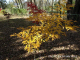 Acer palmatum 'Shigure bato' Japanese Maple