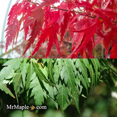 Acer palmatum 'Hagoromo' Angel Feather Japanese Maple