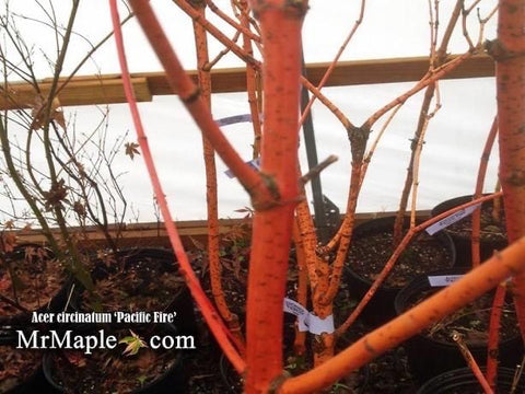 Acer circinatum 'Pacific Fire' Coral Bark Japanese Maple