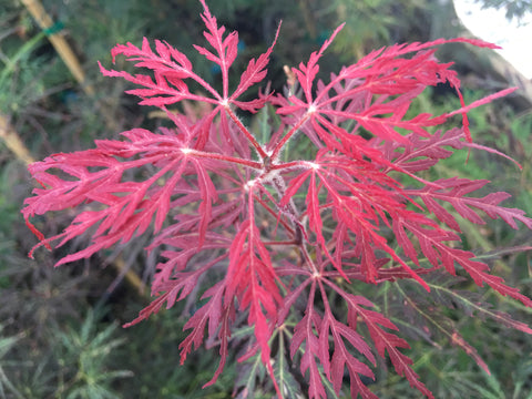 Acer palmatum dissectum 'Chitoseyama shidare' Bright Red Weeping Japanese Maple