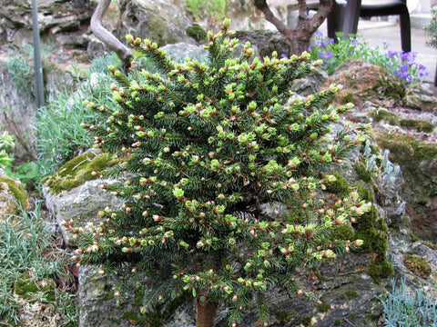 Picea abies 'Kluis' Rare Dwarf Norway Spruce