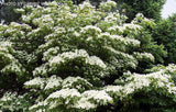 Cornus kousa 'Milky Way' White Flowering Narrow Chinese Dogwood