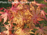 Acer palmatum 'Amber Ghost' Japanese Maple