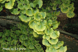 Ginkgo biloba 'Bush Form' Dwarf Male Ginkgo Tree