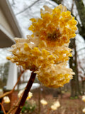 Edgeworthia chrysantha 'Snow Cream' Chinese Paperbush