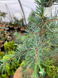 Cedrus libani 'Blue Angel' Narrow Lebanon Cedar