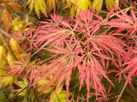 Acer palmatum 'Prince Charming' Japanese Maple
