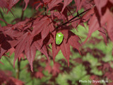 Acer palmatum 'Hefner's Red' Japanese Maple