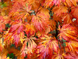 Acer japonicum 'Mai kujaku' Dancing Peacock Japanese Maple