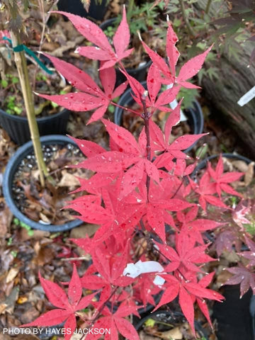 Acer palmatum 'Superbum' Attraction Japanese Maple Tree