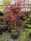 Acer palmatum 'Cindy' Japanese Maple
