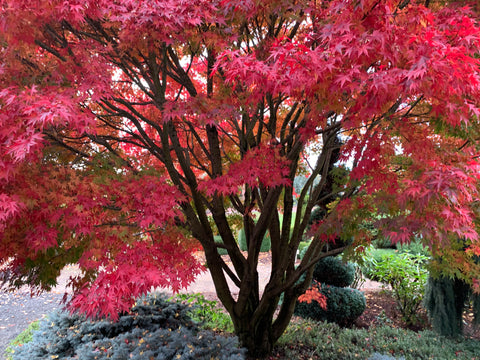 Acer palmatum 'Tobiosho' Japanese Maple