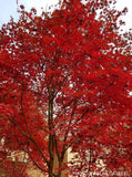 Acer palmatum 'Bloodgood' Red Japanese Maple Tree