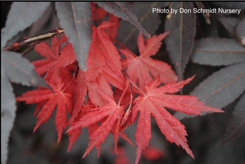 Acer palmatum 'Scarlet Wonder' Japanese Maple Tree