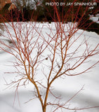 Acer palmatum 'Japanese Sunrise' Coral bark Winter Interest Japanese Maple