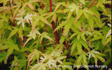 Acer palmatum 'Corvallis Broom' Dwarf Coral Bark Japanese Maple