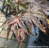 Acer palmatum 'Red Jaguar' Japanese Maple