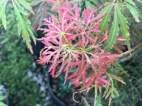 Acer palmatum 'Dissectum Group'  Laceleaf Seedling Japanese Maple