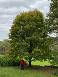 Acer platanoides 'Walderseei' Variegated Norway Maple