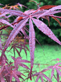 Acer palmatum 'Beni otake' Red Bamboo Japanese Maple