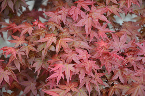 Acer palmatum 'Shin deshojo' Red Japanese Maple