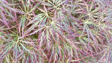 Acer palmatum 'Raraflora' Weeping Japanese Maple