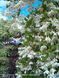 Styrax japonicus 'Fragrant Fountain' White Weeping Japanese Snowbell