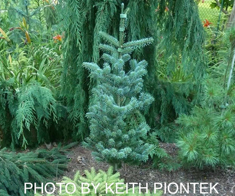 Abies koreana 'Glauca' Blue Korean Fir Grafted on Abies firma