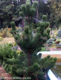 Pinus nigra 'Oregon Green' Austrian Black Pine Tree