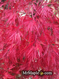 Acer palmatum 'Seiryu' Japanese Maple