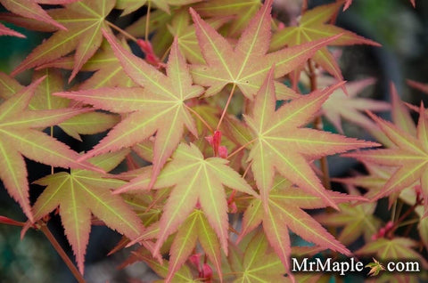 Acer oliverianum 'Hot Tamale' Japanese Maple