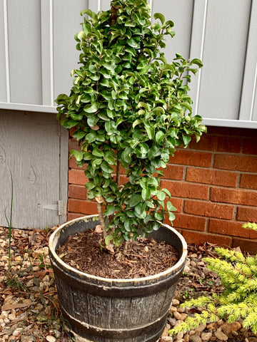Ligustrum japonicum 'Rotundifolium' Dwarf Curly Leaf Japanese Privet