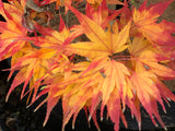 Acer palmatum 'Koi' Dwarf Japanese Maple