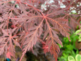 Acer palmatum 'Firefall' Weeping Red Japanese Maple