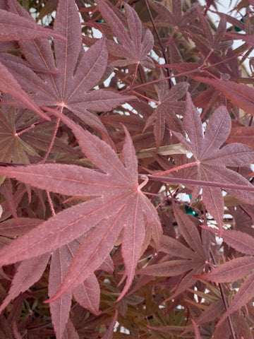 Acer palmatum 'Whitney Red' Red Japanese Maple Tree