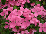 Cornus kousa 'Hanros' Radiant Rose™ Pink Flowering Chinese Dogwood