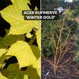 Acer rufinerve 'Winter Gold' Yellow Bark Snakebark Japanese Maple