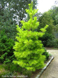 Pinus strobus 'Louie' Rare Golden Yellow Variegated White Pine Tree