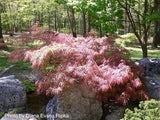 Acer palmatum 'Pink Lace' Weeping Japanese Maple