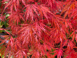 Acer palmatum 'Heartbeat' Weeping Red Japanese Maple