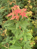 Acer palmatum 'Gold Digger' Yellow Coral Bark Japanese Maple
