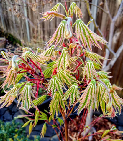 Acer palmatum 'Yama nishiki' Reticulated White Variegated Japanese Maple
