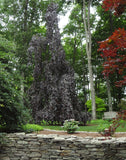 Fagus sylvatica 'Purple Fountain' Rare Weeping Purple European Beech