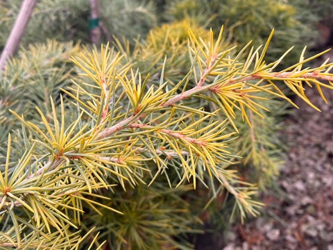 Cedrus deodara 'Well's Golden' Select Yellow Himalayan Cedar